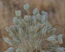 Allium palles (Liliaceae)