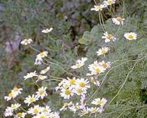 Anthemis cupaniana (Asteraceae)
