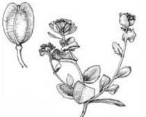 Bivonaea lutea (Brassicaceae)