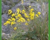 Brassica drepanensis (Brassicaceae)