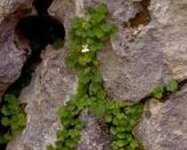 Cymbalaria pubescens (Scrophulariaceae)