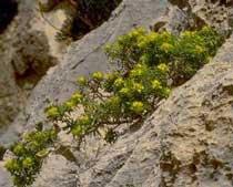 Euphorbia bivonae (Euphorbiaceae)