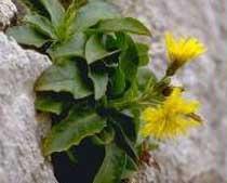 Hieracium cophanense(Asteraceae)