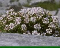 Iberis semperflorens L.(Brassicaceae)