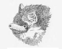 Pipistrello albolimbato