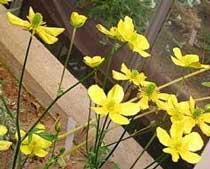 Ranunculus rupestris Guss.(Ranunculaceae)