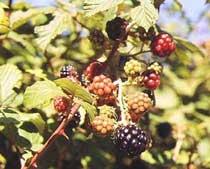 Rubus ulmifolius Schott.