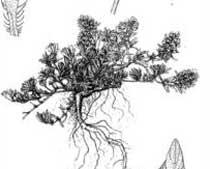 Thymus spinulosus