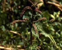 Urtica membranacea Poiret.