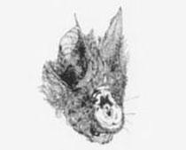 Rinofolo maggiore